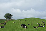 Image of cows on a hill